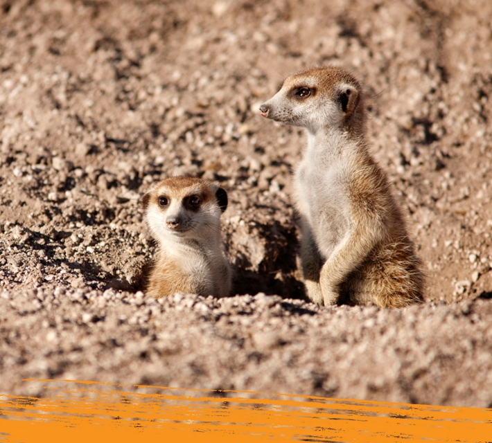 Two meerkats in their natural habitat