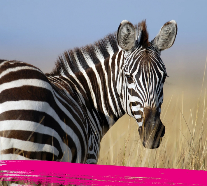 Close up of a zebra in its habitat
