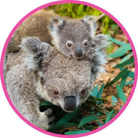 Koala with its joey on its head eating leaves