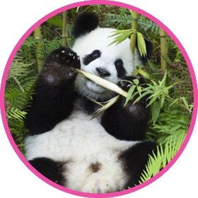 Clumsy Panda bear eating bamboo shoots